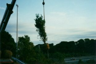 Tree being set in place during highway beautification